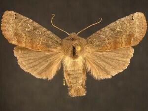 http://mothphotographersgroup.msstate.edu/species.php?hodges=9883