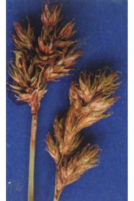 http://plants.usda.gov/gallery/large/camu6_001_lvp.jpg