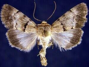 http://mothphotographersgroup.msstate.edu/species.php?hodges=10113.5