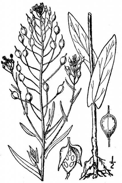 http://plants.usda.gov/java/largeImage?imageID=casa2_001_avd.tif