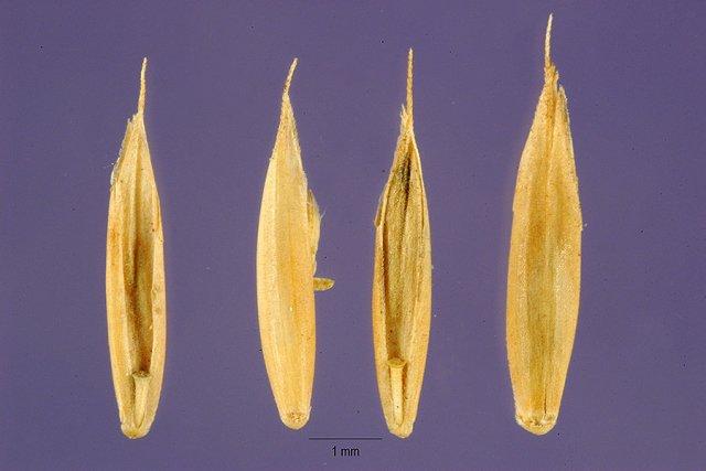 http://plants.usda.gov/gallery/large/feovb4_001_lhp.jpg
