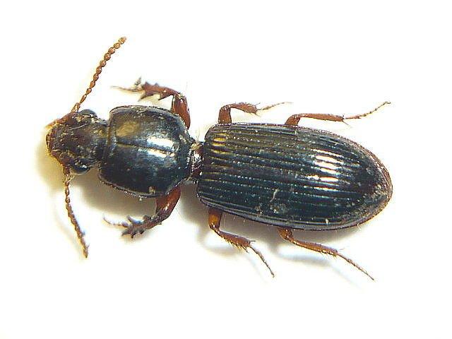 http://www.biolib.cz/en/image/id42465/