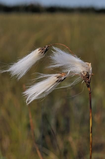 http://www.biopix.com/roth-slender-cottongrass-eriophorum-gracile_photo-72101.aspx