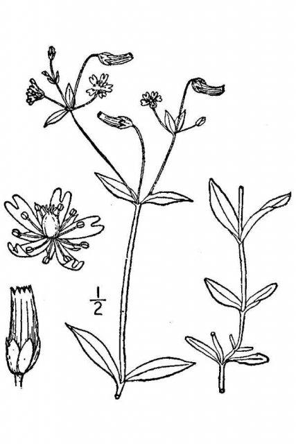 http://plants.usda.gov/java/largeImage?imageID=celo6_001_avd.tif