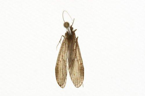 http://www.boldsystems.org/views/taxbrowser.php?taxon=Rhyacophila+angelita