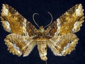 http://mothphotographersgroup.msstate.edu/species.php?hodges=8697