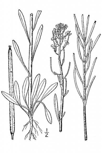 http://plants.usda.gov/java/largeImage?imageID=chin12_001_avd.tif
