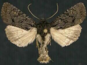 http://mothphotographersgroup.msstate.edu/species.php?hodges=9360