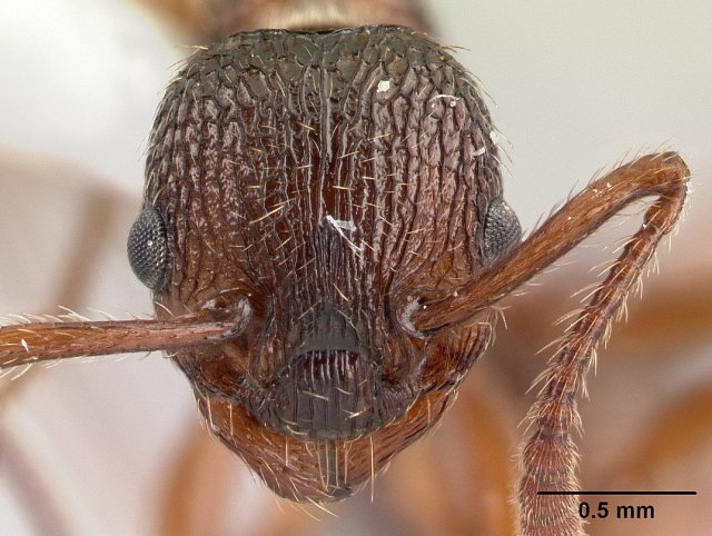 http://www.antweb.org/description.do?genus=myrmica&name=americana&rank=species