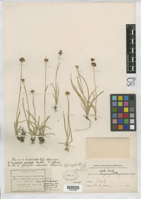 http://collections.mnh.si.edu/search/botany/?irn=10086465