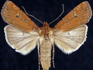 http://mothphotographersgroup.msstate.edu/species.php?hodges=10801