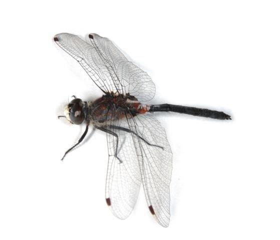 http://animaldiversity.ummz.umich.edu/site/resources/phil_myers/odonata/Libellulidae_F-Le/Leucorrhinia_proxima0942.jpg/medium.jpg