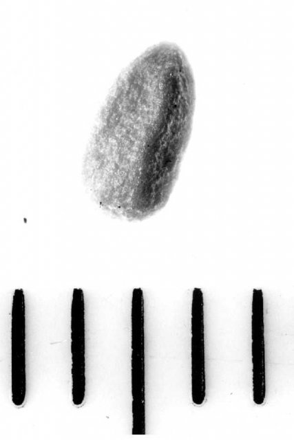 http://plants.usda.gov/java/largeImage?imageID=saca11_004_avp.tif