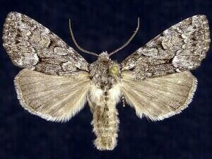 http://mothphotographersgroup.msstate.edu/species.php?hodges=9396