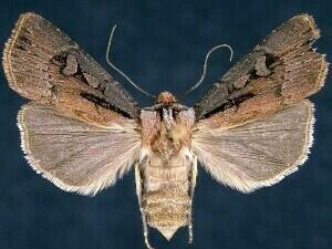http://mothphotographersgroup.msstate.edu/species.php?hodges=10660