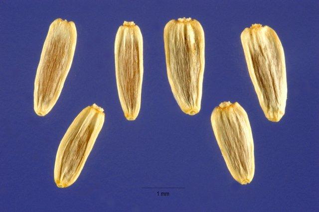 http://plants.usda.gov/java/largeImage?imageID=acmio_003_ahp.tif
