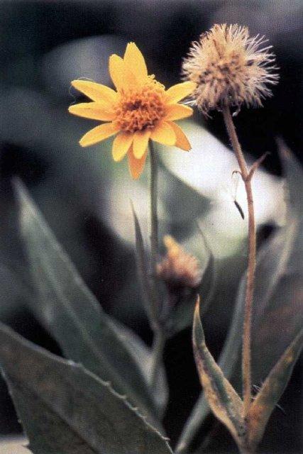 http://plants.usda.gov/java/largeImage?imageID=aram2_001_avp.tif