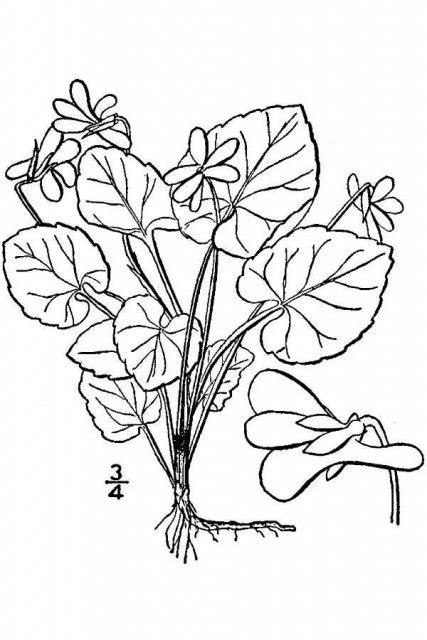 http://plants.usda.gov/java/largeImage?imageID=vise2_001_avd.tif