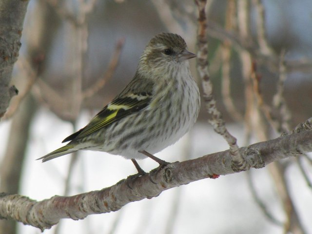 http://commons.wikimedia.org/wiki/File:Carduelis_pinus_wsweet321.jpg
