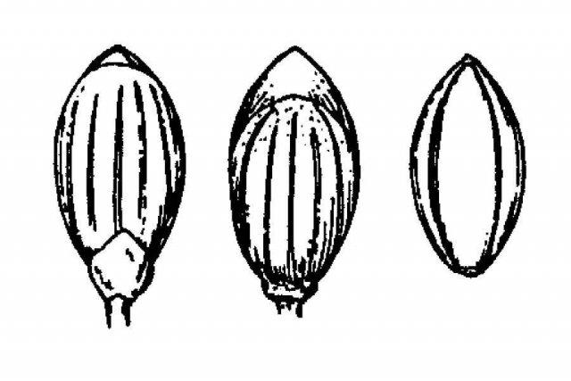 http://plants.usda.gov/java/largeImage?imageID=pacu3_001_ahd.tif