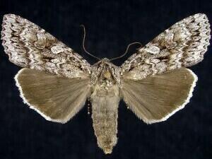 http://mothphotographersgroup.msstate.edu/species.php?hodges=10929