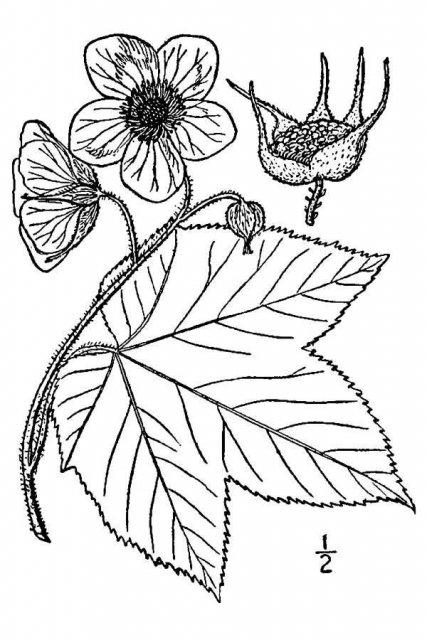 http://plants.usda.gov/java/largeImage?imageID=rupa_001_avd.tif