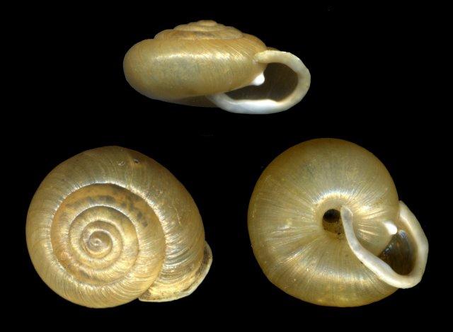 http://commons.wikimedia.org/wiki/File:CryptomastixMullaniClappi.jpg