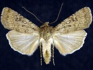 http://mothphotographersgroup.msstate.edu/species.php?hodges=10819