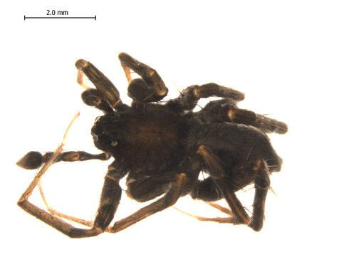 http://www.boldsystems.org/views/taxbrowser.php?taxon=Pardosa+lapidicina