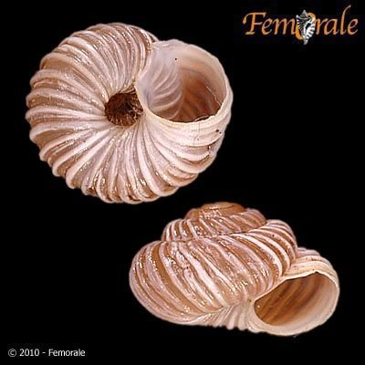 http://www.femorale.com/shellphotos/detail.asp?species=Oreohelix%20idahoensis%20(Newcomb,%201866)