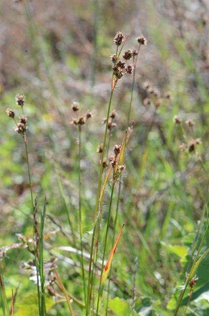 http://www.biopix.com/many-flowered-wood-rush-luzula-multiflora-ssp-multiflora_photo-105158.aspx