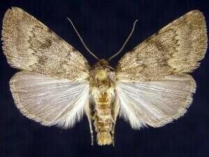 http://mothphotographersgroup.msstate.edu/species.php?hodges=9642
