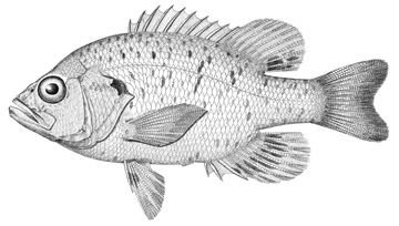 http://collections.mnh.si.edu/services/media.php?env=fishes&irn=5003948