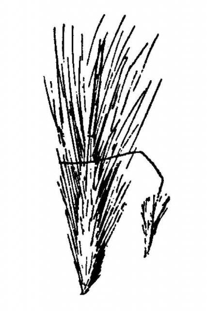 http://plants.usda.gov/java/largeImage?imageID=stpi2_001_avd.tif