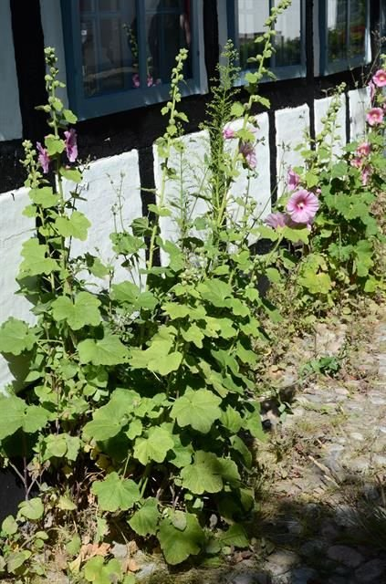 http://www.biopix.com/hollyhock-alcea-rosea_photo-108678.aspx