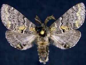 http://mothphotographersgroup.msstate.edu/species.php?hodges=7935