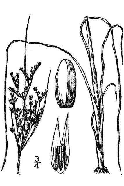 http://plants.usda.gov/java/largeImage?imageID=juin2_001_avd.tif