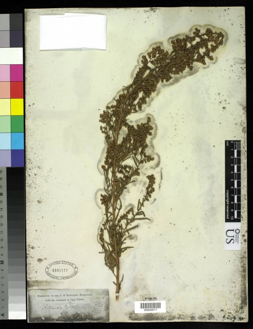http://collections.mnh.si.edu/services/media.php?env=botany&irn=10215692