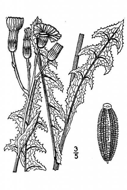 http://plants.usda.gov/java/largeImage?imageID=soara2_001_avd.tif