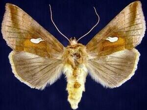 http://mothphotographersgroup.msstate.edu/species.php?hodges=8917