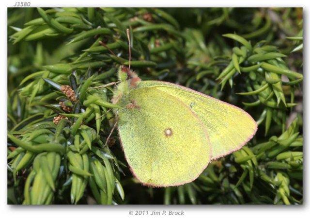 http://butterfliesofamerica.com/images/Pieridae/Coliadinae/colias_pelidne_skinneri/Colias_pelidne_skinneri_M_USA_MONTANA_Carbon_Co._Rock_Creek_23-VII-2011_BROCK_1.JPG