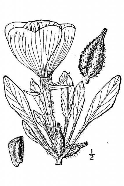 http://plants.usda.gov/java/largeImage?imageID=pace2_001_avd.tif