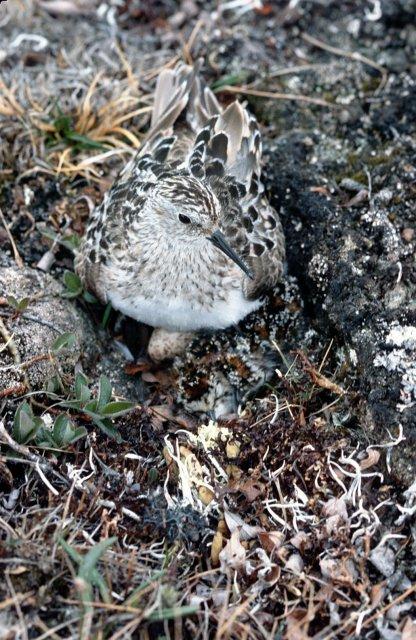 http://commons.wikimedia.org/wiki/File:Baird's_Sandpiper_on_Nest.jpg