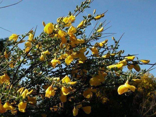 http://www.biopix.com/broom-cytisus-scoparius-ssp-scoparius_photo-11704.aspx