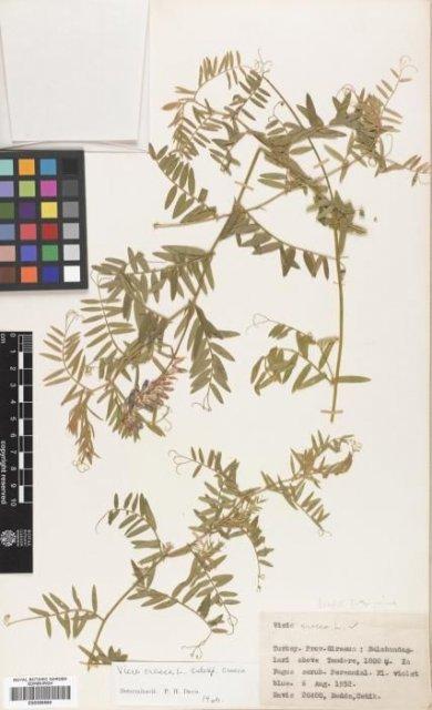 http://elmer.rbge.org.uk/bgbase/vherb/bgbasevherb.php?cfg=bgbase/vherb/bgbasevherb.cfg&specimens_barcode=E00366590