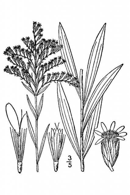 http://plants.usda.gov/java/largeImage?imageID=sogl4_001_avd.tif