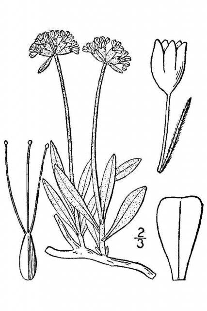http://plants.usda.gov/java/largeImage?imageID=ermu9_001_avd.tif