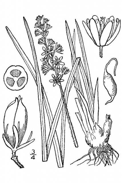 http://plants.usda.gov/java/largeImage?imageID=trgl5_001_avd.tif