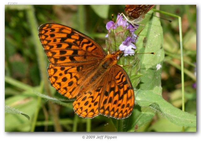 http://butterfliesofamerica.com/images/Nymphalidae/Argynnini/Speyeria_hydaspe_viridicornis/Speyeria_hydaspe_viridicornis_M_Fresno_Dome_Madera_Co_CA_USA_10-VII-07_17.jpg