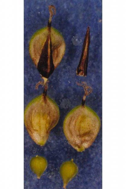 http://plants.usda.gov/gallery/large/cahe8_002_lvp.jpg
